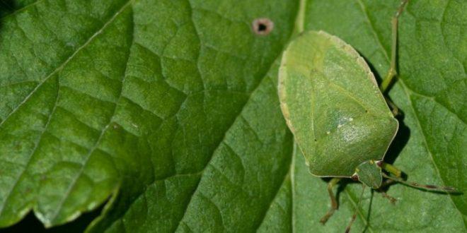 Punaise verte de maison : comment la reconnaitre et s'en affranchir ?